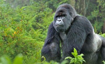 10 Days Primate Safari in Uganda Rwanda Congo