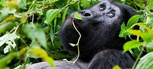 11 Days Gorilla, Chimpanzee and Wildlife Safari in Rwanda