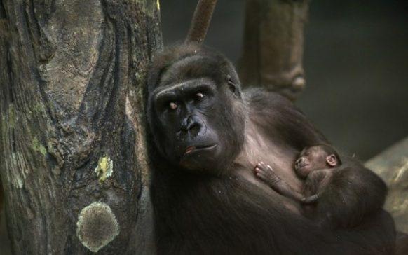 Congo Safaris, Congo Safari, Congo Tours, Congo Gorilla Safari
