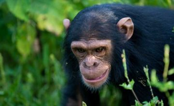 2 days Ngamba Island Chimpanzee Sanctuary Safari in Uganda tour