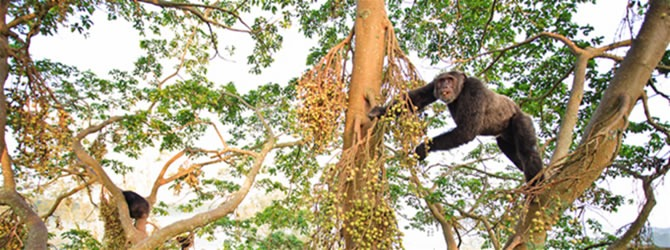 Chimpanzees of Kibale Forest