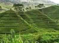Tea farm in lugazi