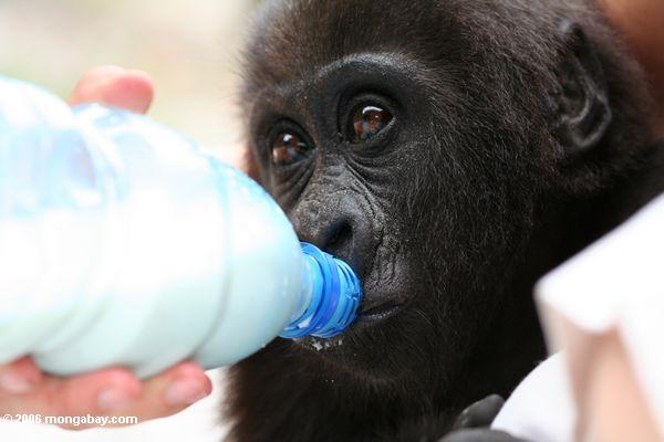 Baby gorilla feeding gorilla