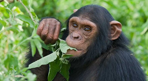 3 Days Chimpanzee Habituation Safari in Uganda to Kibale National Park