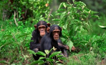 3 Days Chimpanzee Safari in Rwanda to Nyungwe Forest National Park