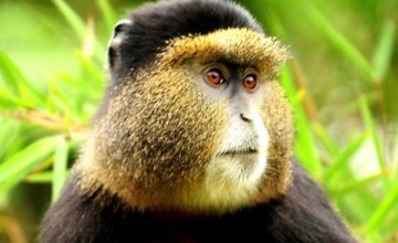 4 Days Gorilla Safari in Rwanda & Golden Monkey Tracking