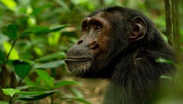 5 Days Gorilla and Chimpanzee Safari in Rwanda to Volcanoes and Nyungwe Forest National Parks