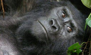 5 Days Gorilla trekking safari in Rwanda