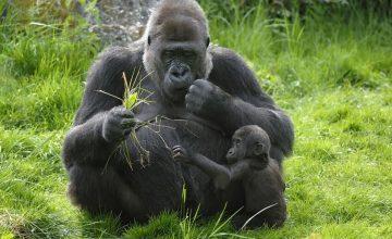 5 Days Rwanda Congo Gorilla Safari