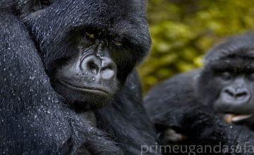 6 Days Uganda Primate & Wildlife Group Safari