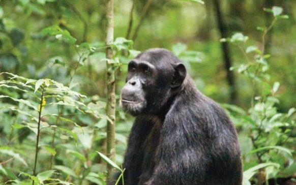 7 days Uganda Rwanda chimpanzee trekking tour