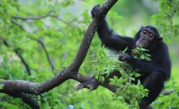 8 days Uganda big ape, scenery & wild game Uganda Group Safari