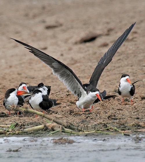 african-skimmer-uganda-birding-safaris-birding-safaris-uganda