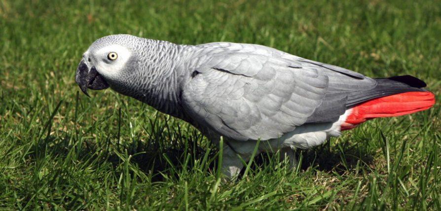 african-grey-parrot-uganda-safaris-uganda-tours