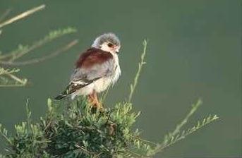 african-pygmy-falcon-uganda-safaris