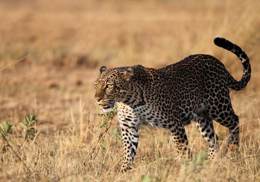 Leopard 花豹