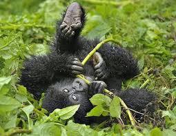 baby gorilla playing uganda safaris