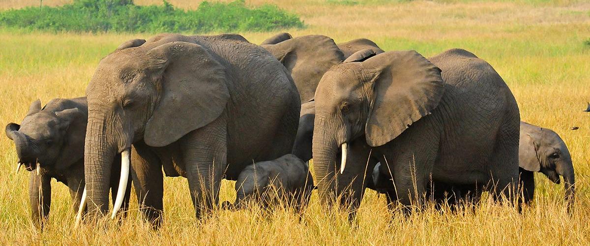 Elephant tours Uganda
