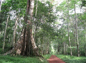 Budongo-Forest