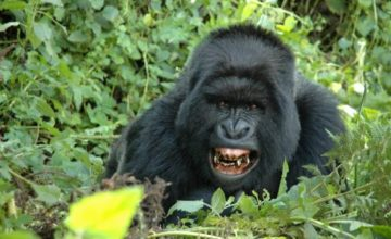 Bwindi Gorilla Safari & Wildlife 4 days uganda tours