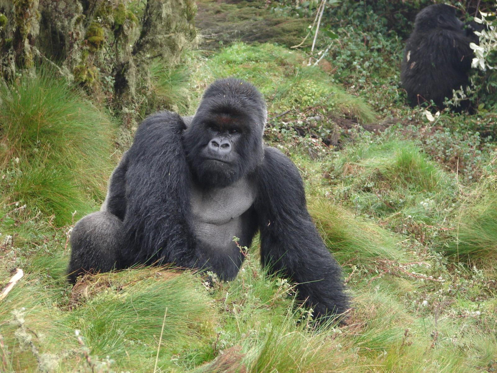Cantsbee silver-back , Rwanda safaris , Rwanda tours