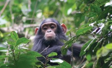 Chimpanzee Trekking Wildlife Safari - 5 days uganda tour