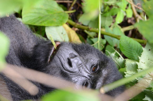 mountain gorillas in uganda