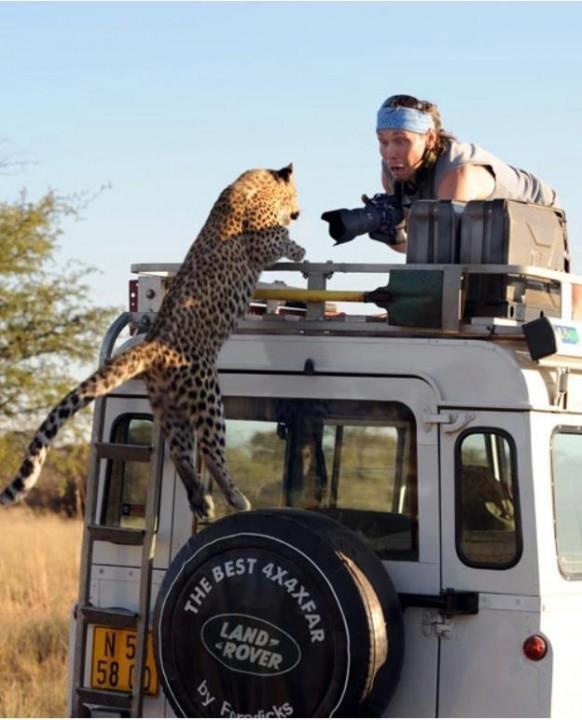 On a Uganda safari LEOPARD CLIMBS UP A TOURIST CAR