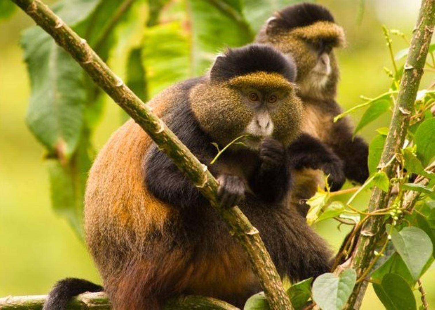 The golden monkeys in Mgahinga gorilla national park