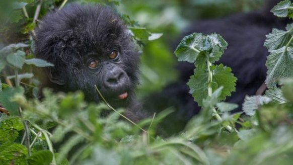 Gorilla Safari in Rwanda & Golden Monkey Tracking in Volcanoes National Park 3 days