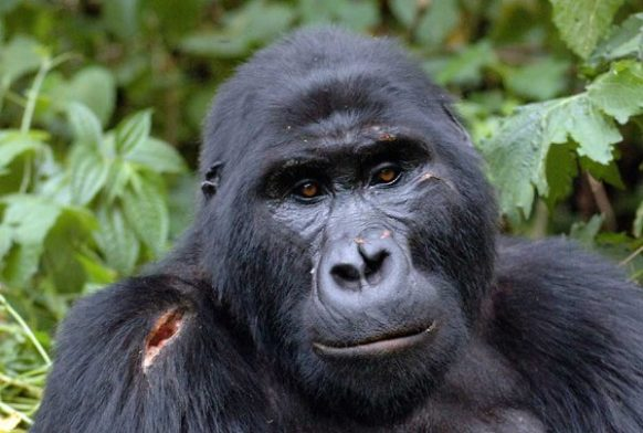 Gorilla Safari in Uganda 3 days uganda tours