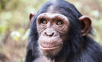 Gorilla Trekking & Chimps Safari in Uganda 10 days uganda tour