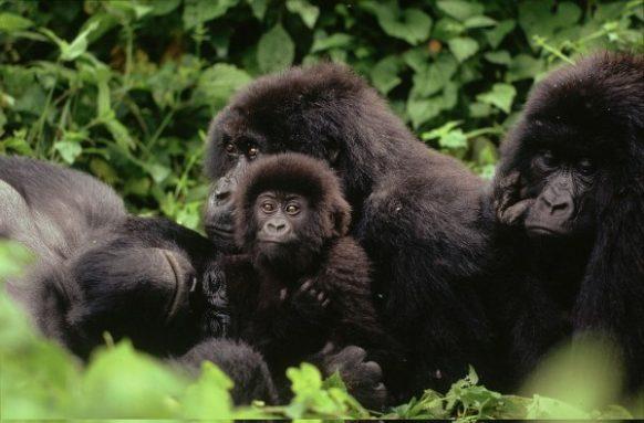 Gorilla Trekking as a Congo Safari Activity in Virunga National Park