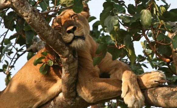 Ishasha in search of tree climbing lions