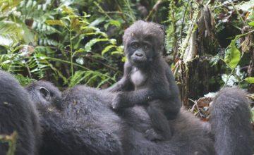 Rwanda Uganda Gorilla trekking Safari 8 days uganda tour