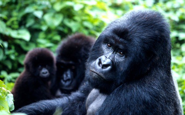 MOUNTAIN GORILLAS IN UGANDA Tour