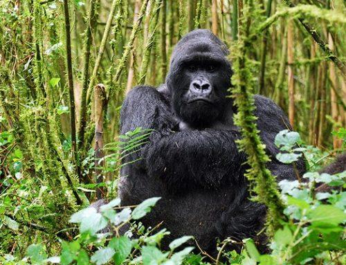 Reasons Why The Uganda Wildlife Authority Increased Its Gorilla Permits!