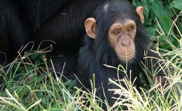 Primate Safari in Uganda 6 days