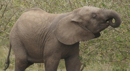 baby elephant at queen Elizabeth np