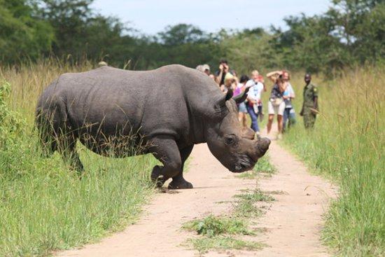 Rhino trekking experience in Uganda-Uganda Safari News
