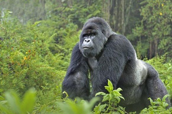 Rwanda Gorilla Safari & Bisoke Mountain Climb; 4 Days
