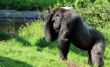 Rwanda Gorilla tracking Tour 4 Days