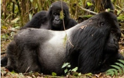 Rwanda Mountain Gorillas trekking