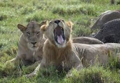 lions- uganda safaris