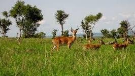 UGANDA KOB - SAFARIS