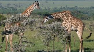 Rothschild giraffes in murchison falls np