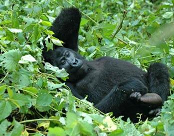 UGANDA-gorilla-safaris