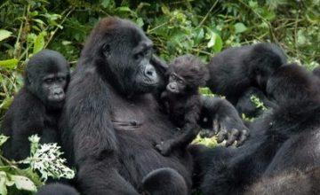 Uganda & Rwanda Gorilla Safari - 13 Days uganda tour