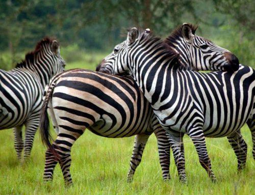 Best Places to See Zebras in Uganda – Uganda Safari News