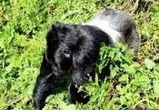 agasha gorilla
